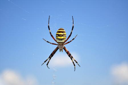 Wasp spider, Argiope bruennichi photo