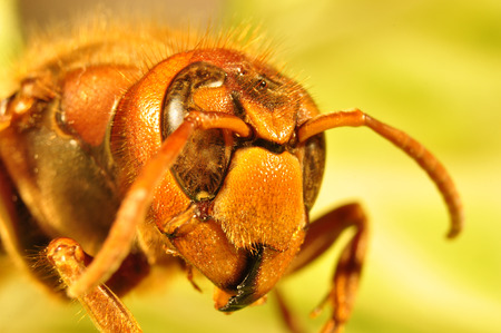 Giant hornet, Vespa crabro Standard-Bild