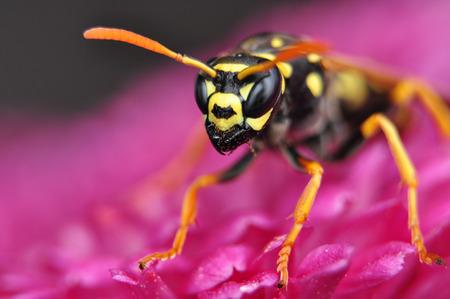 sponger: Hornet on chrysanthemum  Stock Photo