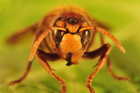 Giant hornet, Vespa crabro