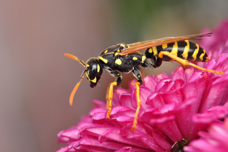 Hornet on chrysanthemum