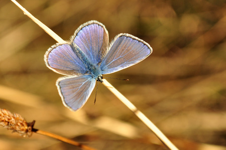 Polyommatus icarus, blue butterfly