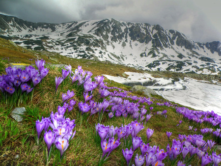 Crocus vernus on Retezat mountains, Romania