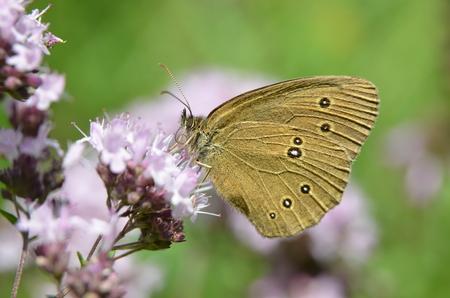Aphantopus hyperantus - Brown butterfly