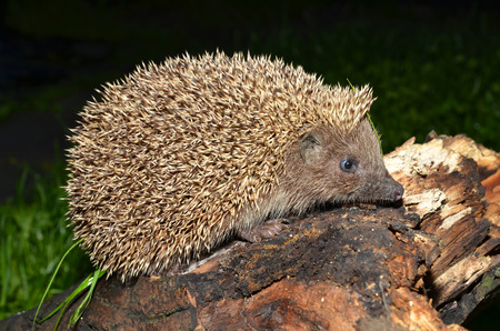 European hedgehog, Erinaceus concolor