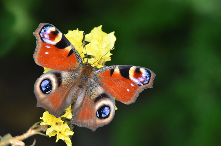Inachis Io, Peacock butterfly
