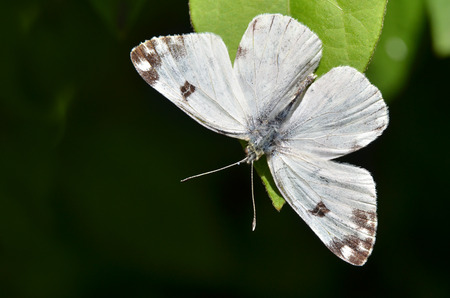 Small cabbage white, Pieris rapae