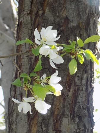 Flowering Chokecherry tree photo