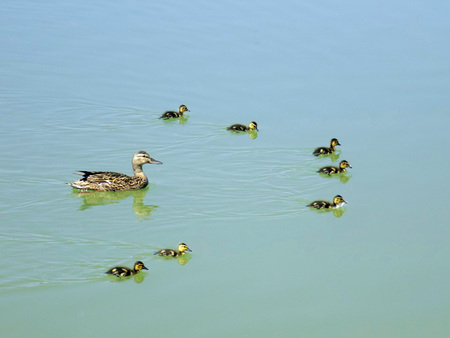 Mamma ducks with ducklings