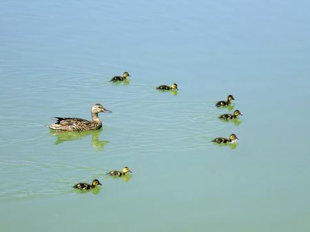 mamma: Mamma ducks with ducklings