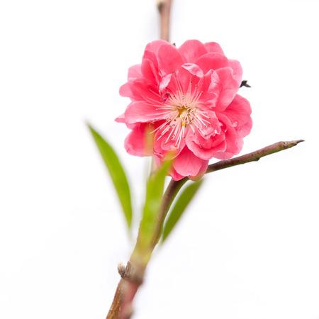 peach blossom: aislado de flor de durazno