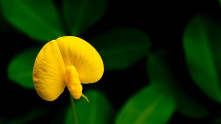 arachis: Arachis duranensis