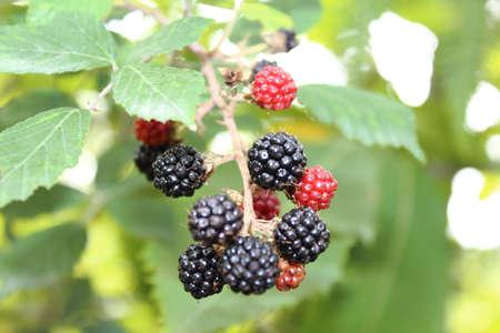 opinions: bush of wild blackberries