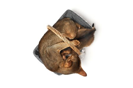 Brown abessin cat with a kitten sleeping in its soft cozy basket on a white background Pets are sleeping in a basket. Concept of motherhood and care.