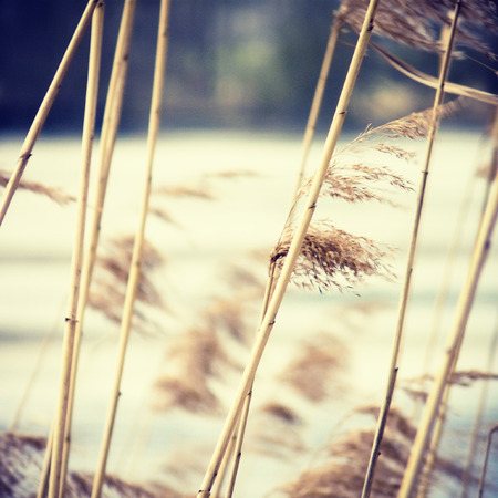 common reed: common reed