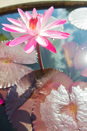 lotus in water at morning time  look beautiful