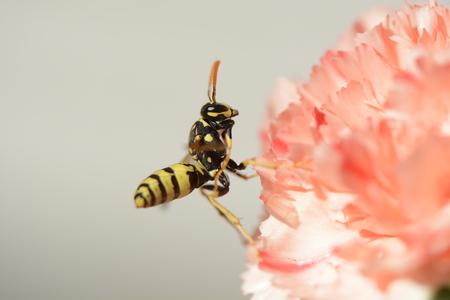 avispa: Wasp