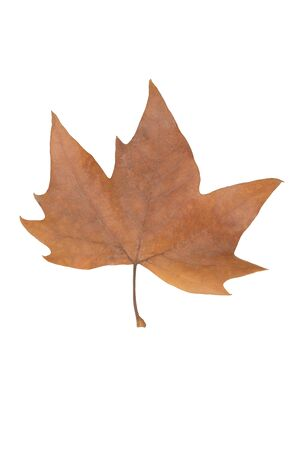 Dry leaf of a tree, cut out on white background