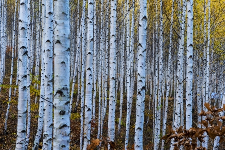 Gangwon-do South Korea beautiful birch forest photo