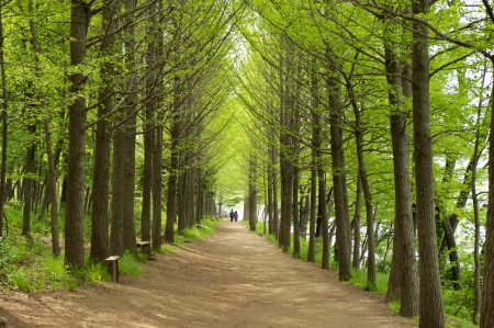 Beautiful landscape in South Korea,Nami Island Forest Road Stock Photo