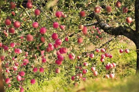 사과 나무에 사과