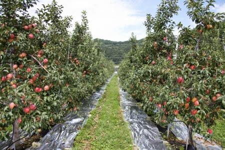 한국 사과 과수원 농촌 풍경
