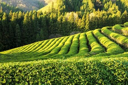 韓国美しい宝城」グリーン ティー フィールド