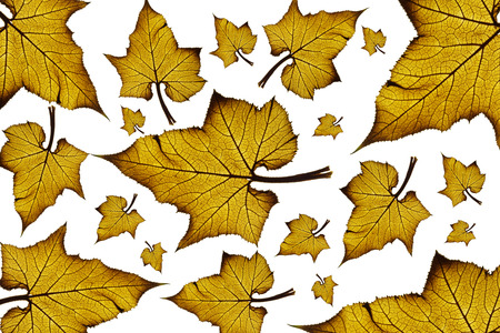 Maple leaves background photo