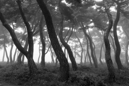 beautiful pine forest in south korea,imhanri