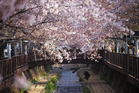Beautiful  Jinhae  Cherry Blossom Festival in South Korea, Yeojwacheon
