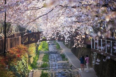 韓国、ロマンスの美しい鎭海桜祭り