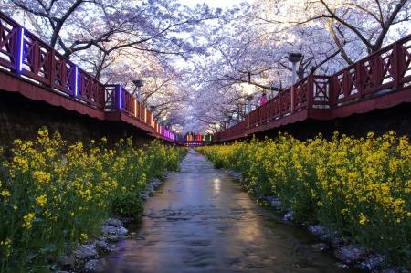 韓国の美しい鎮海の桜祭り