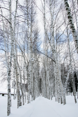 Birch trees and snow photo