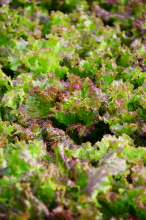 inorganic: Vegetable Lettuce in South Kore Stock Photo