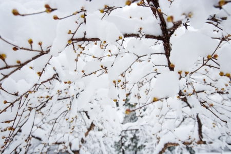 snowcovered: Snow-covered branches Stock Photo
