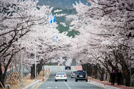Cherry Blossom and road