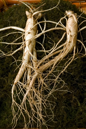 Traditional Medicine in south korea,Red Ginseng Stock Photo