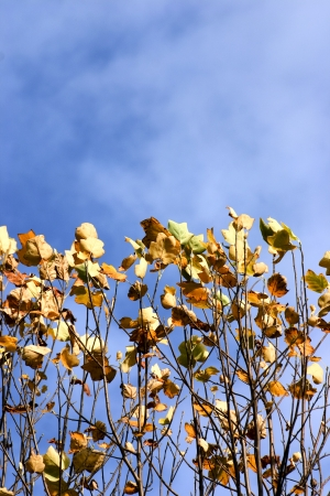 Maple leaves in autumn photo