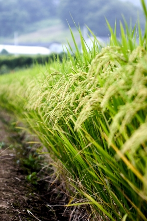 rice plant: rice plant in rice field Stock Photo