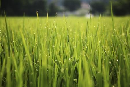 Green rice farm photo