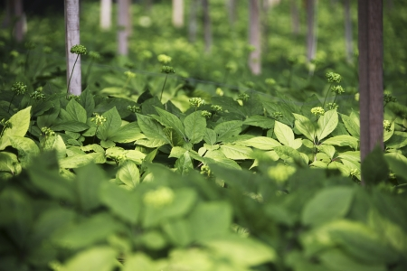 crops in south korea,Ginseng Field