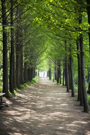 Beautiful landscape in South Korea,Nami Island Forest Road photo