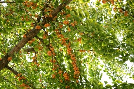 ginkgo tree: Ginkgo tree,fruit