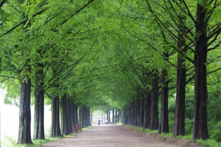 South Korea beautiful green forest trails Damyang metasequoia photo