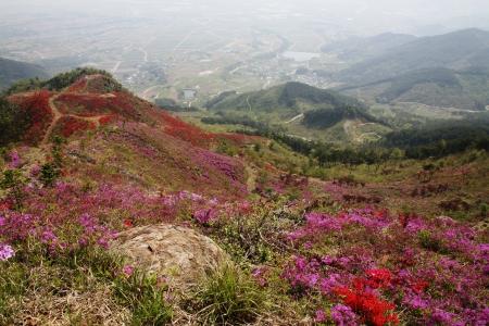 azaleas: Beautiful mountains in south korea,Azaleas