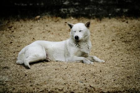 韓国の珍島犬