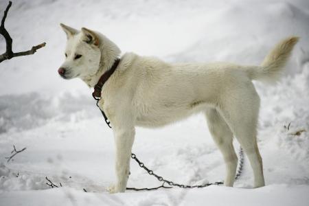 Jindotgae dog in South Korea,Jindotgae