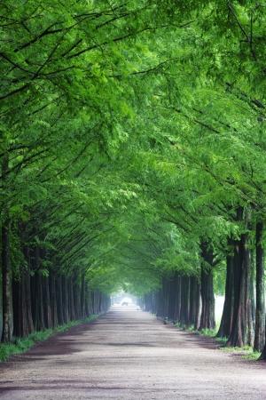 metasequoia: South Korea beautiful green forest trails Damyang metasequoia Stock Photo