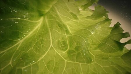 Closeup Fresh organic green leaves lettuce salad plant in hydroponics vegetables farm system.