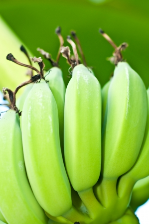 Green bananas with green background